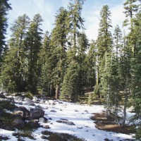 Forests at Sand Flat, Mount Shasta