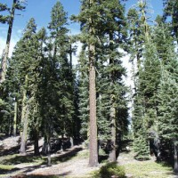 Trees at Sand Flat, Mount Shasta