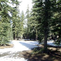 Snowy forest on the slopes of Mount Shasta