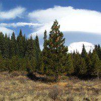 Tree plantations on the slopes of Mount Shasta